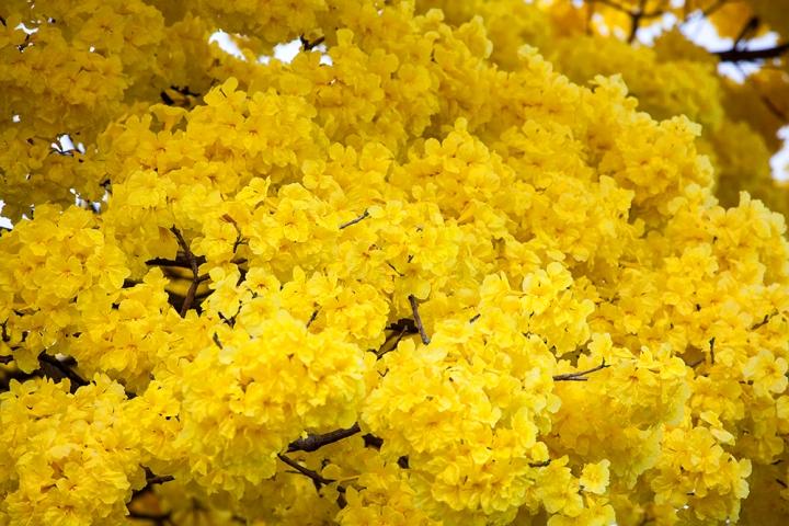 Yellow Hilo 1