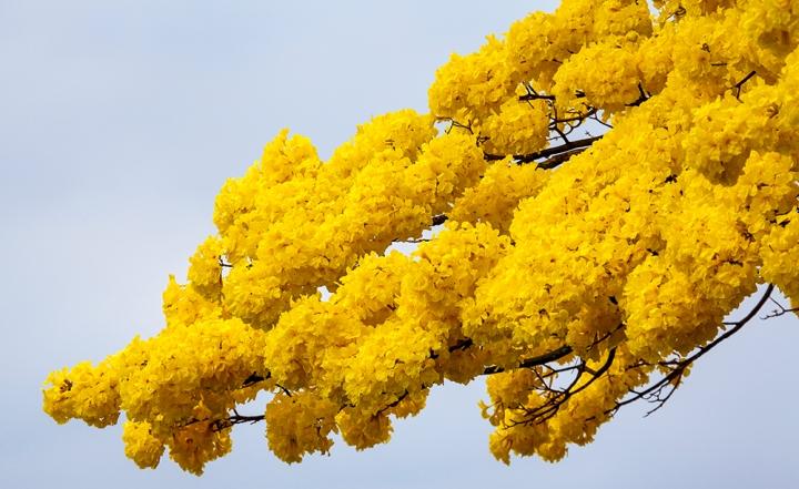 Yellow Hilo 3