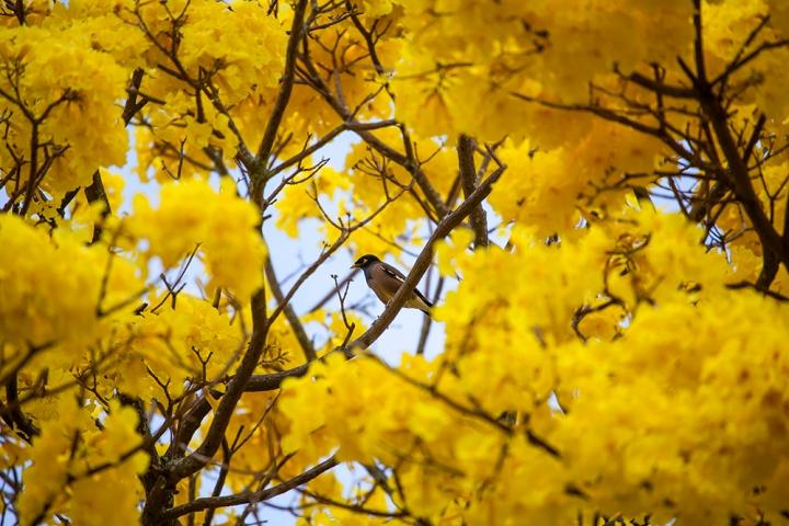 Yellow Hilo